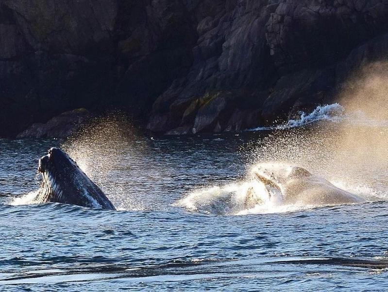 Humpback Whales Feeding in Saint John's, Newfoundland