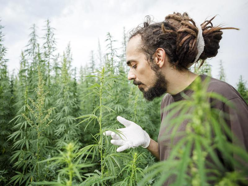 Cannabis field sample technician