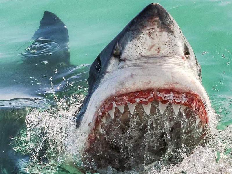 Terrifying Great White Shark