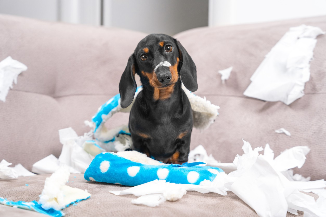 Messy dachshund puppy at home alone