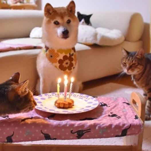 Shiba Inu birthday