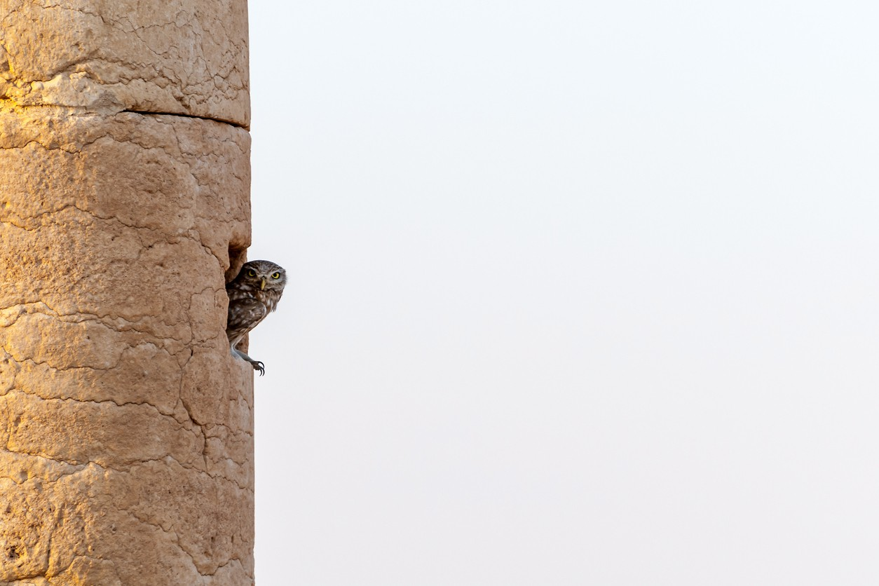 Owl perched on ancient column in Palmyra, Syria