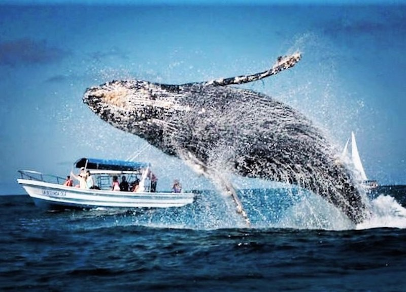 Humpback whale in Puerto Vallarta, Mexico
