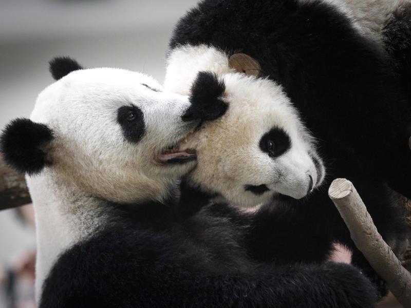 How do panda bears communicate