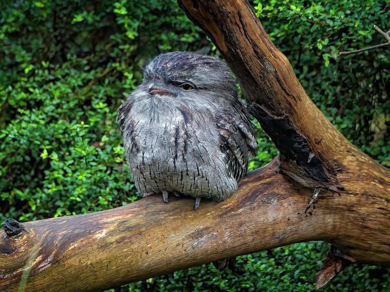 Marbled Frogmouth Owl