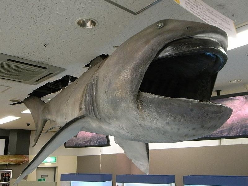 Megamouth Shark in Museum