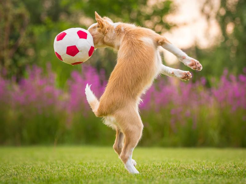 dog heading a ball