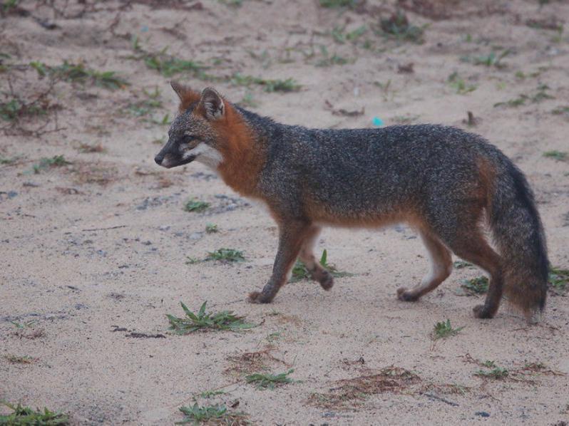 Wild fox in Virginia Beach