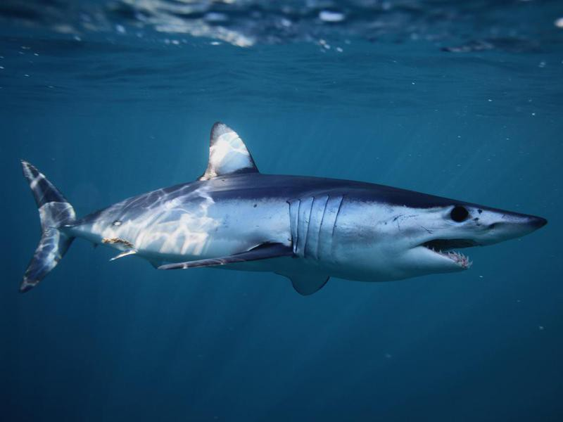 Shortfin Mako Shark-