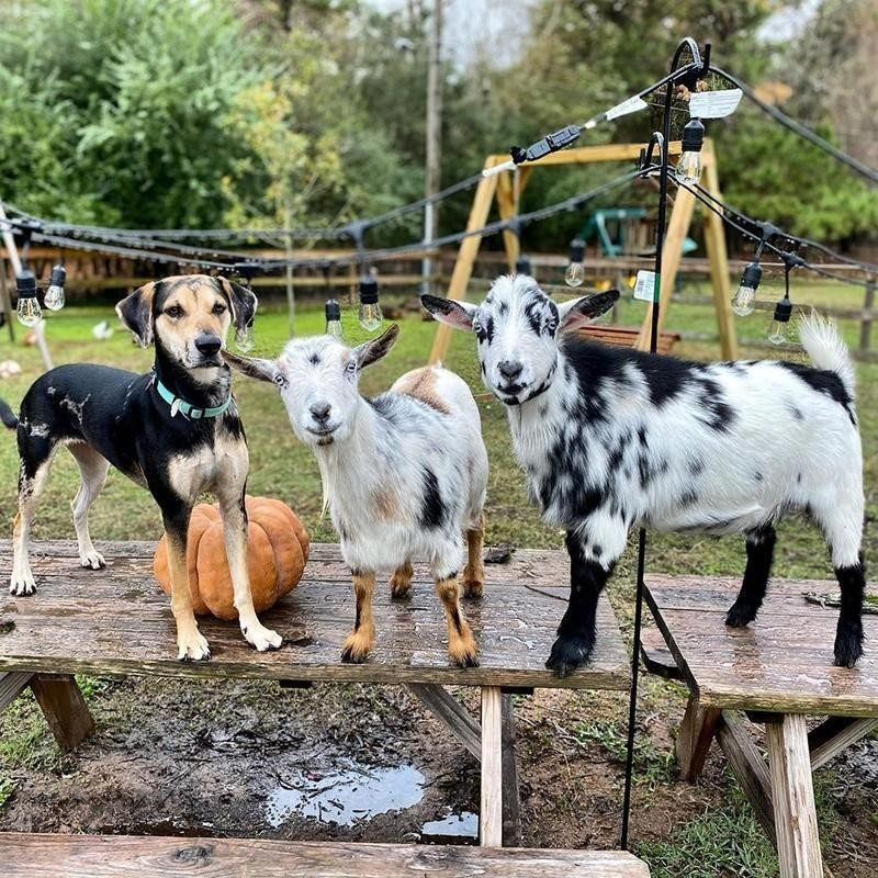 Goats and dog