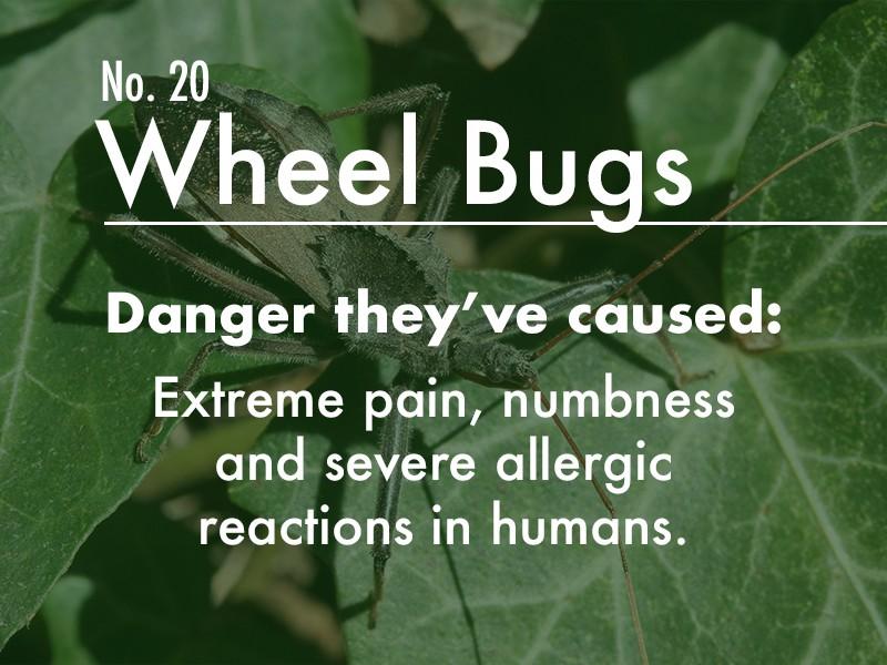 Wheel Bug dangers