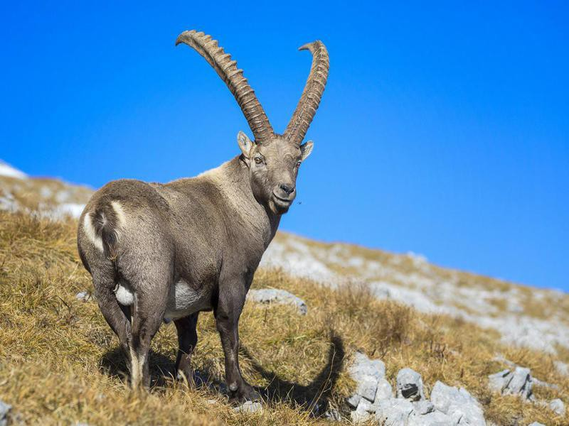 Alpine Ibex Mountain Goat