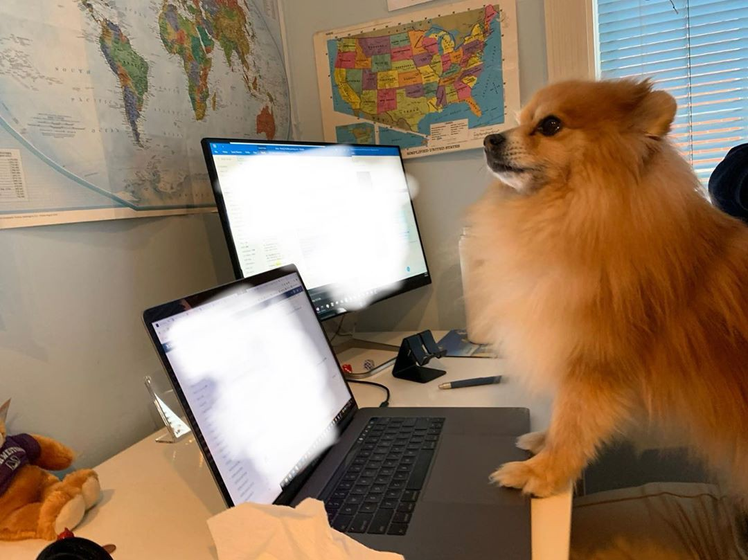 Pomeranian working from home