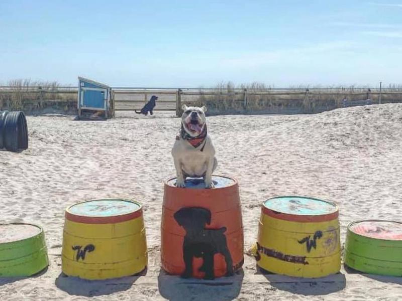 Bulldog at Wildwood Dog Beach