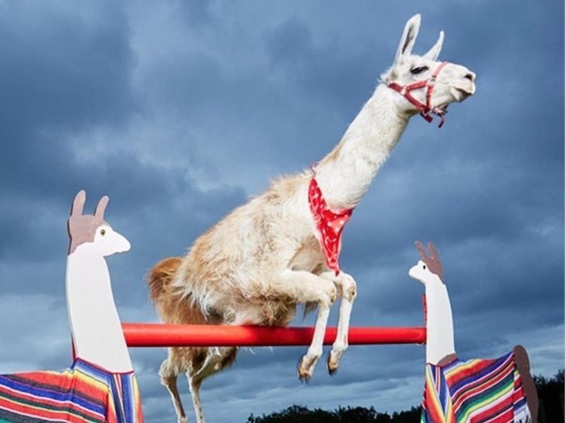 The Highest Bar Jump Cleared by a Llama