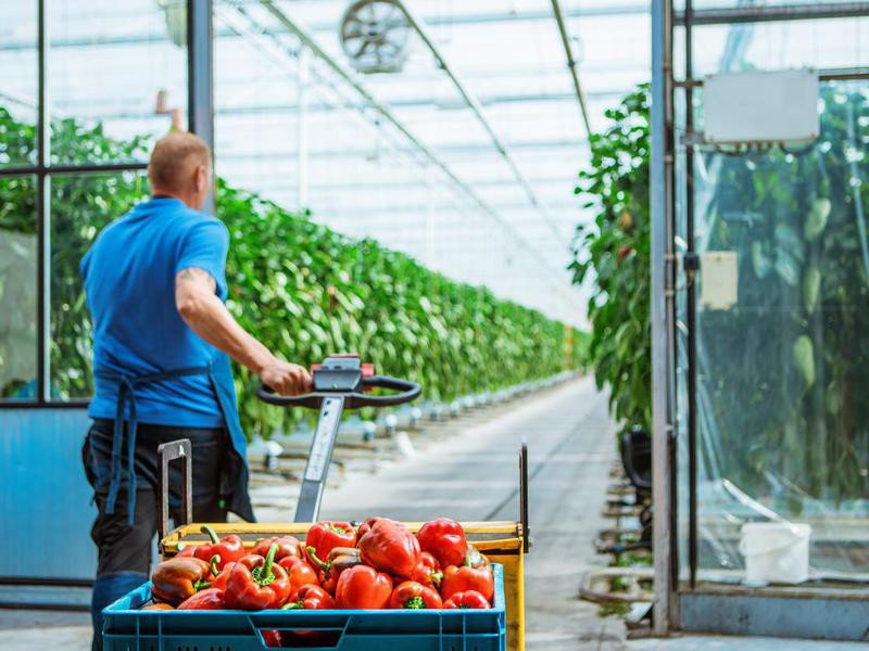 A male worker in a Paprika Greenhouse in Holland