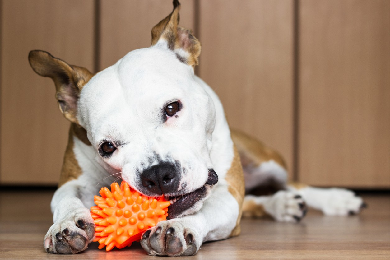 Playful and cute dog chewing a toy at home