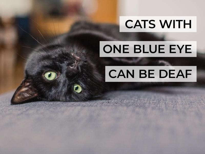 Cats With One Blue Eye Can Be Deaf