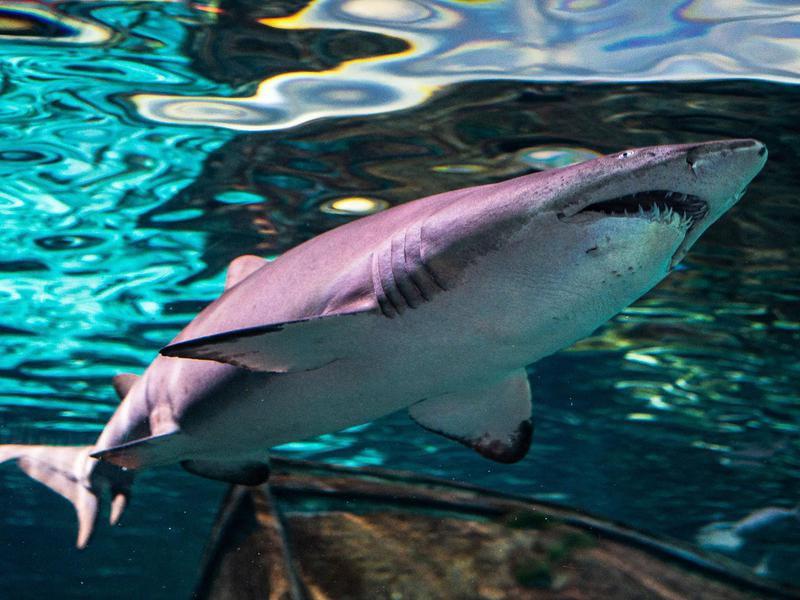 Ripley's Aquarium of Myrtle Beach Sharks