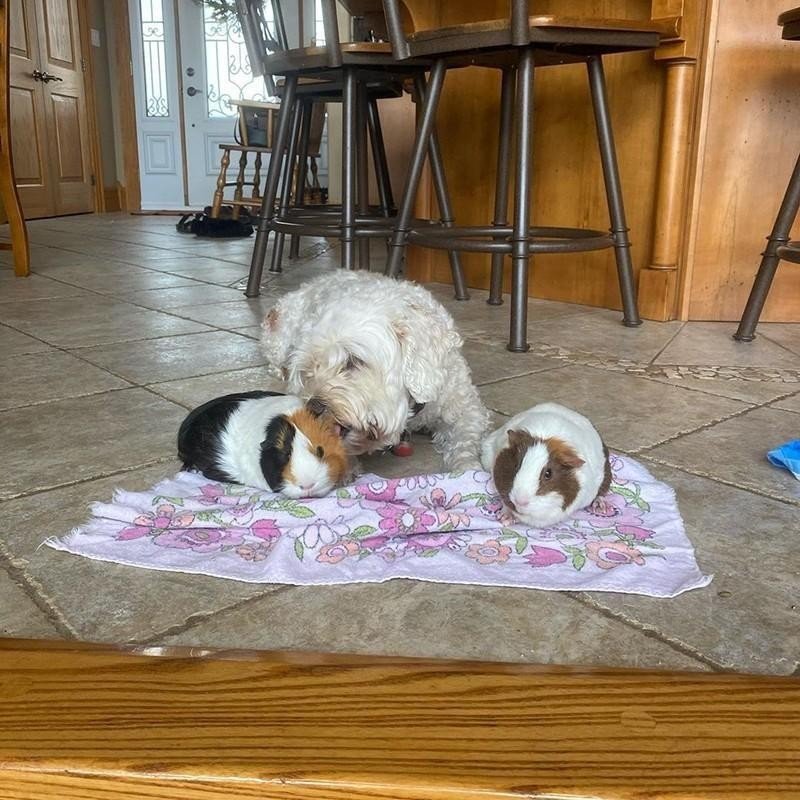 Guinea pigs and dog