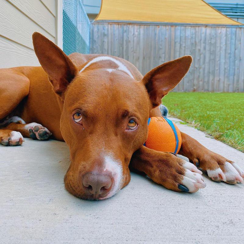 sunbathing dog with ball