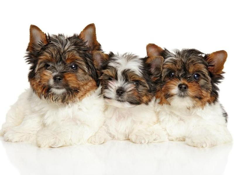 The Biewer Terrier Studbook Has More Than 1,000 Dogs