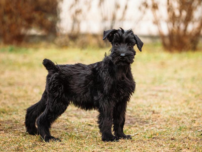 Black Giant Schnauzer of Giant Schnauzer dog