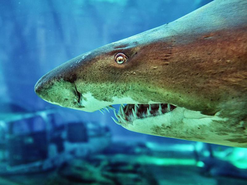 Close-up of a ragged tooth shark