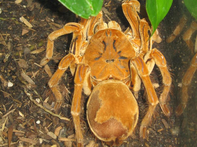 Goliath Bird Eating Spider