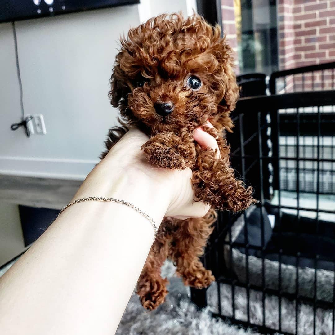 Brown teacup poodle