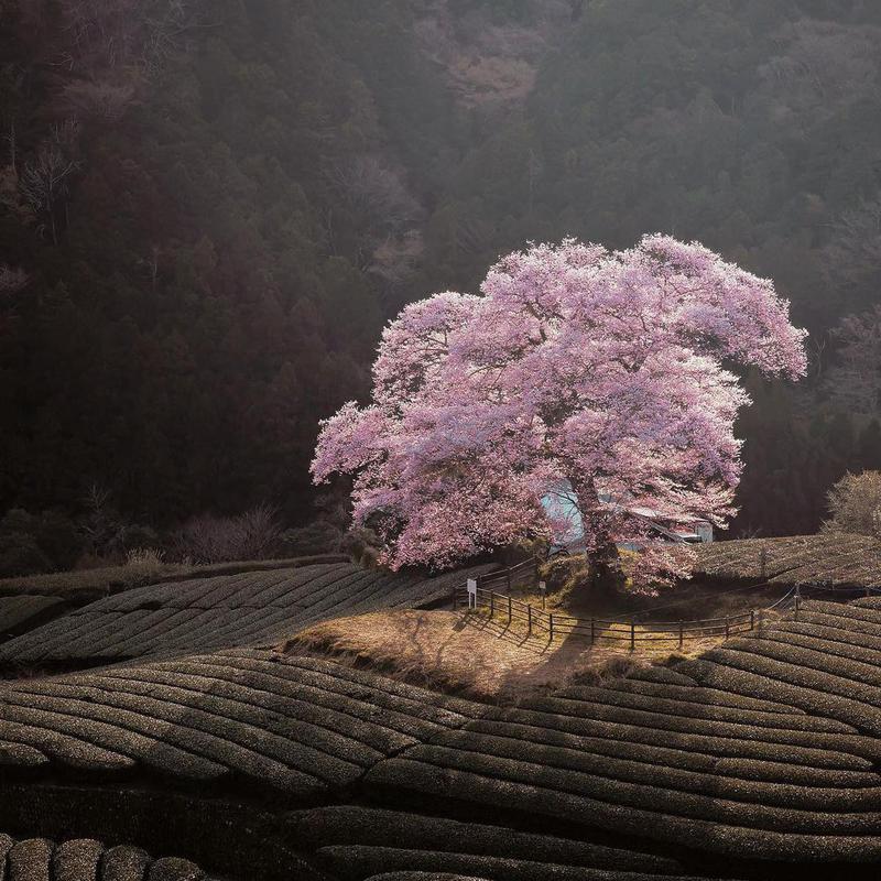 Cherry blossom in Shizuoka, Japan