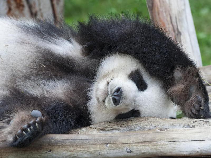 Do panda bears hibernate