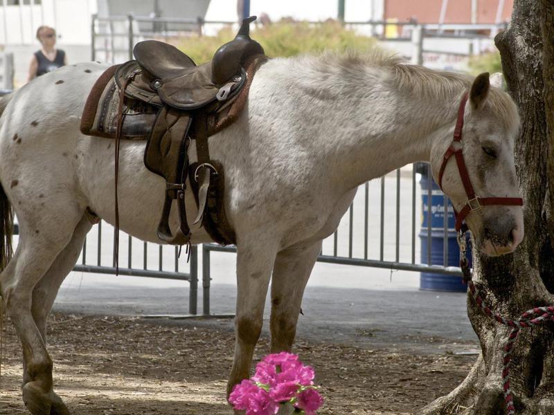 Pony of Americas