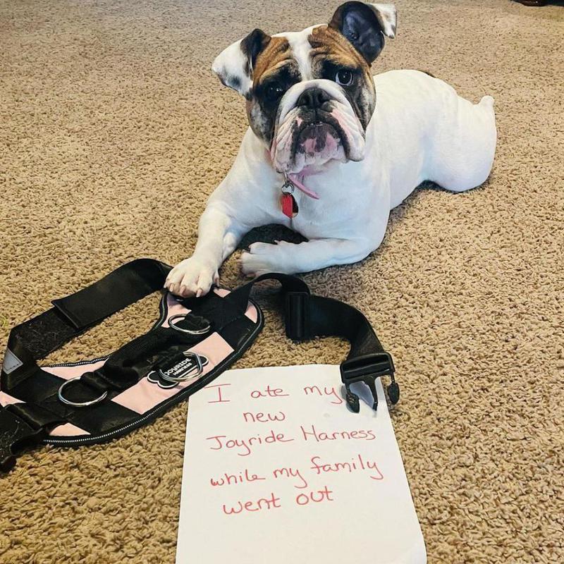 Bulldog with harness