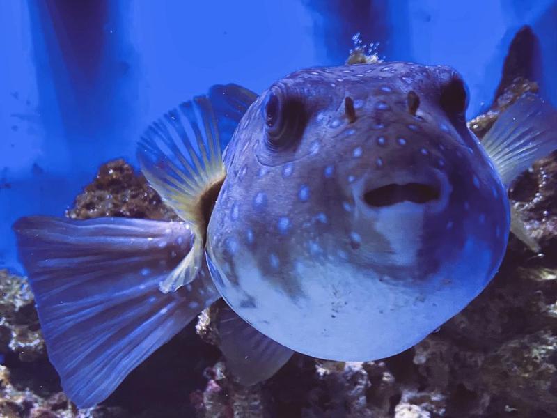 Long Island Aquarium puffer fish