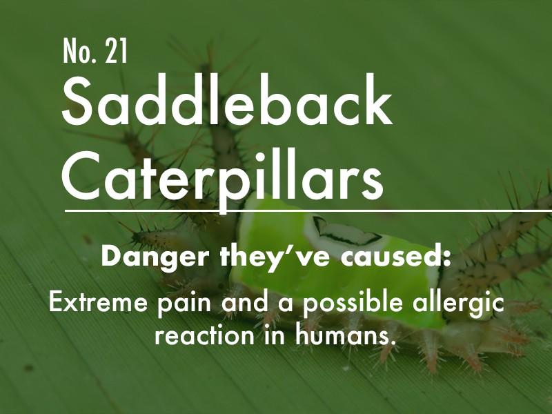 Saddleback Caterpillar dangers