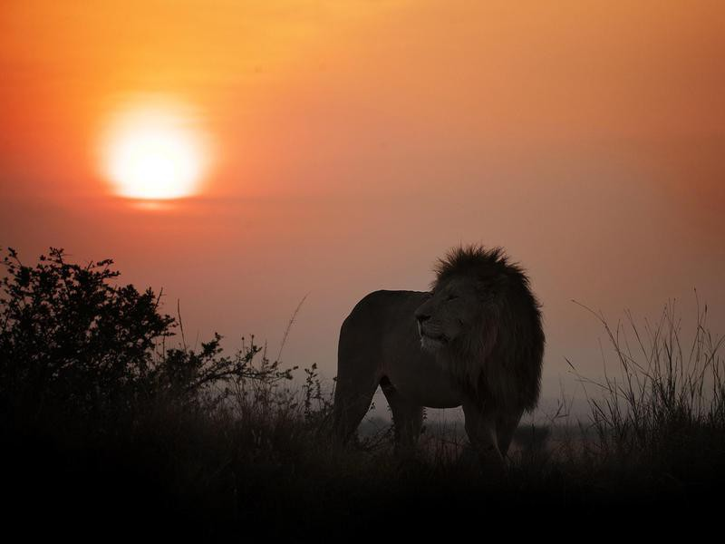 The King of the Jungle