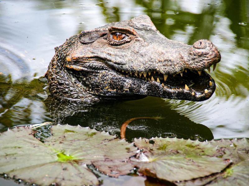 Alligator in Orinoco River