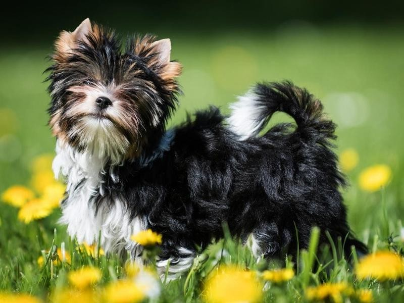 The Biewer Terrier Was Added to the Miscellaneous Class in 2019