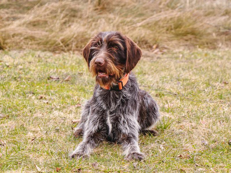 wirehaired pointing
