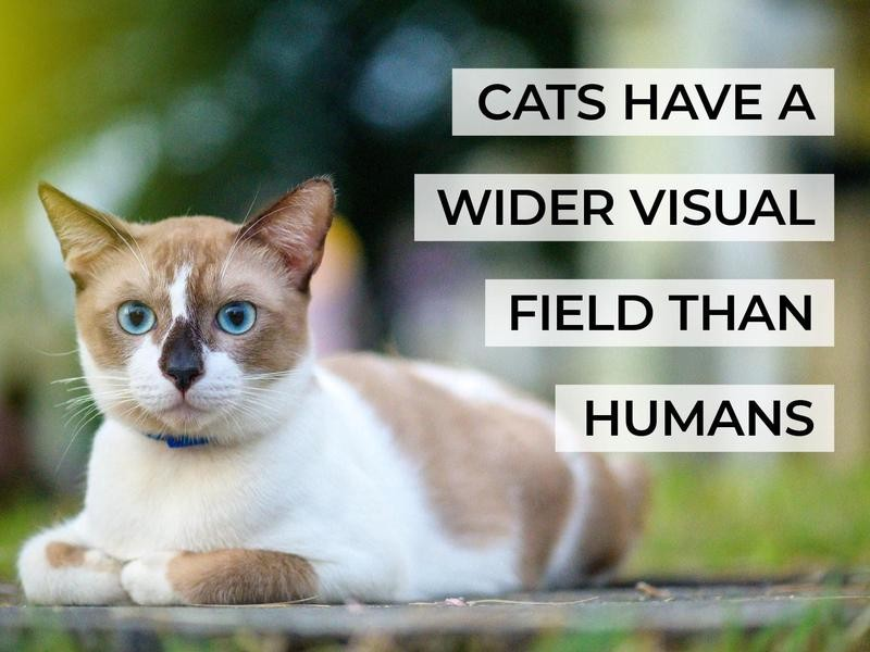 Cats Have a Wider Visual Field Than Humans