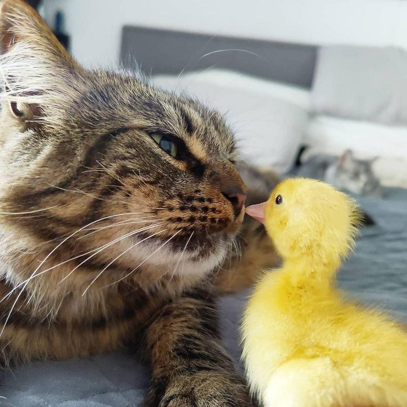 Cat and chick rubbing noses