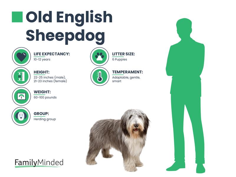 English Sheepdog breed