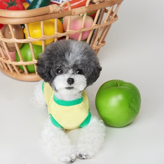 Toy poodle next to apple