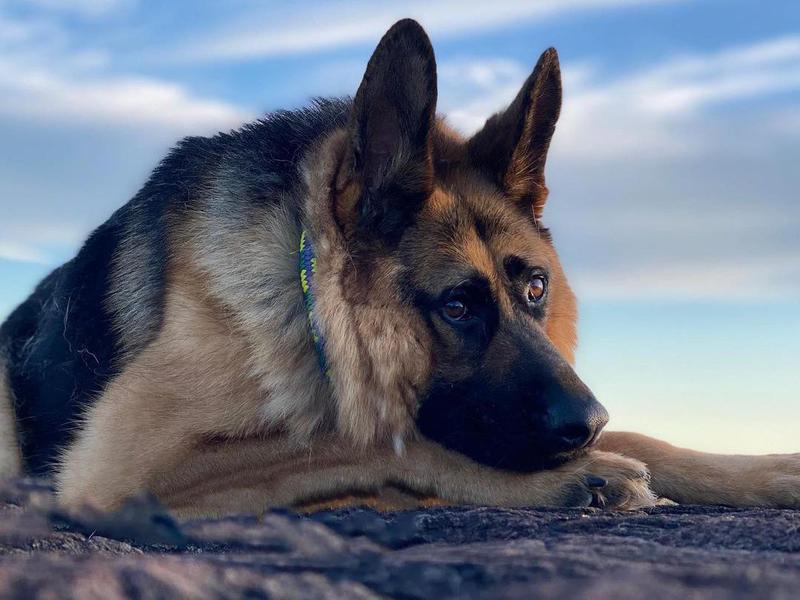 german shepard portrait