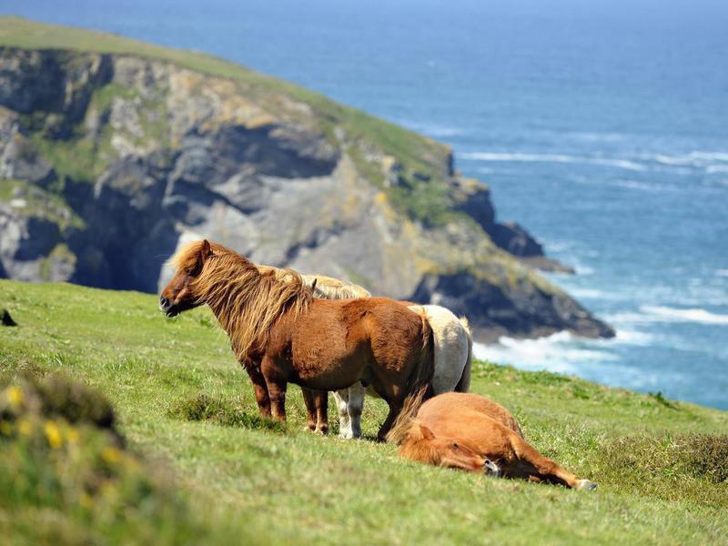 Wild Shetland Ponies