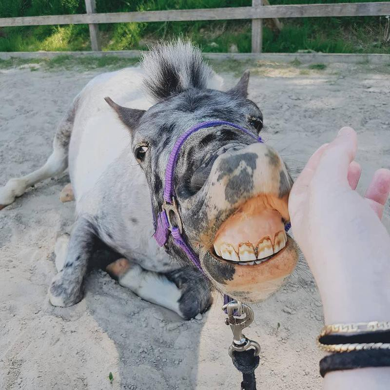 Horse Smiling on a Leash