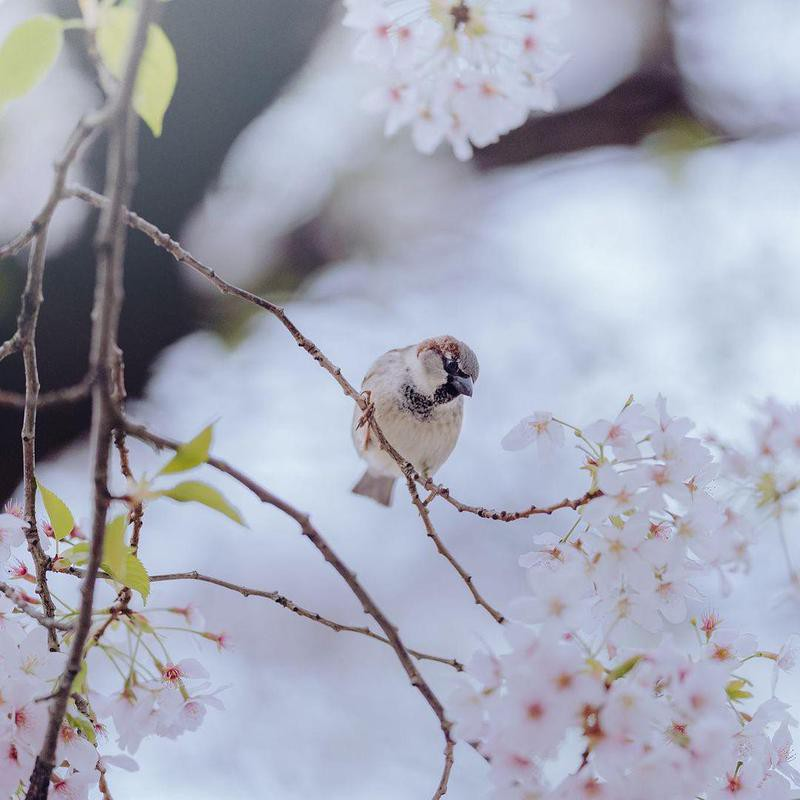 Bird on cherry blossom tree at the Auckland Botanical Gardens