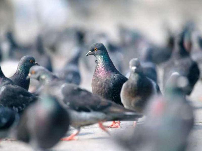 Live Pigeon Shooting