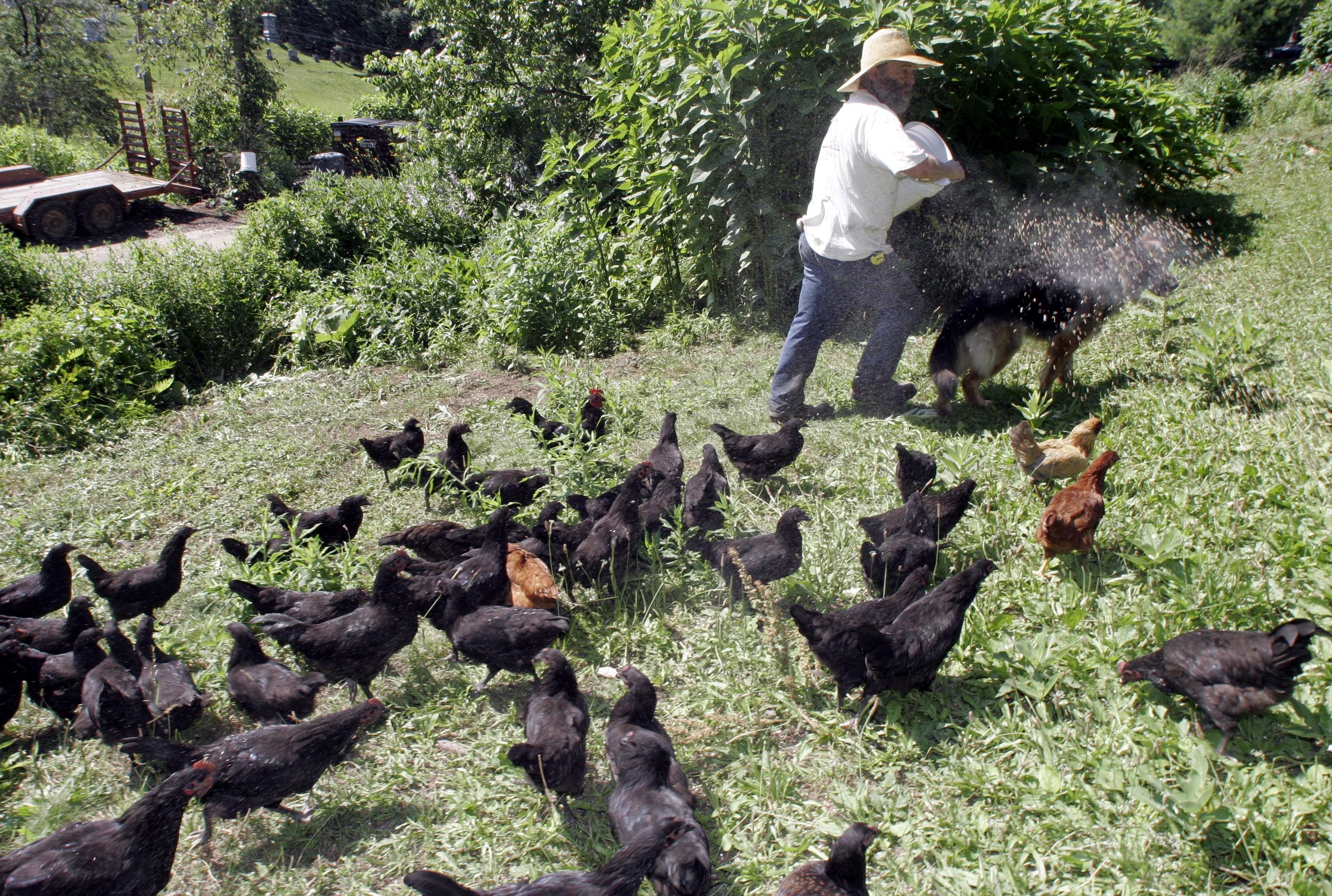 Chicken in Vermont